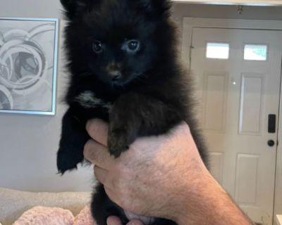 Pomeranian puppies!!