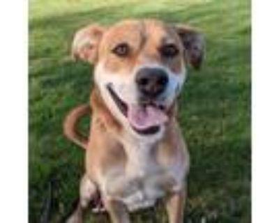 Adopt TATER a Pit Bull Terrier, Labrador Retriever