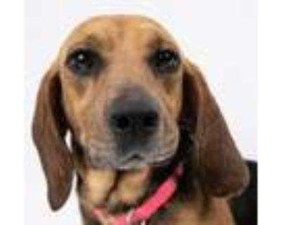 Adopt Bea a Beagle