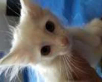 Adopt Wilbur and WIlly a Turkish Angora, Tabby