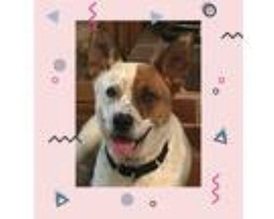 Adopt Splash Mountain a Carolina Dog / Australian Cattle Dog / Mixed dog in
