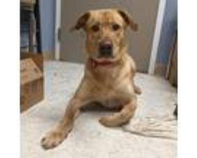 Adopt Max a Tan/Yellow/Fawn Labrador Retriever / Golden Retriever / Mixed dog in