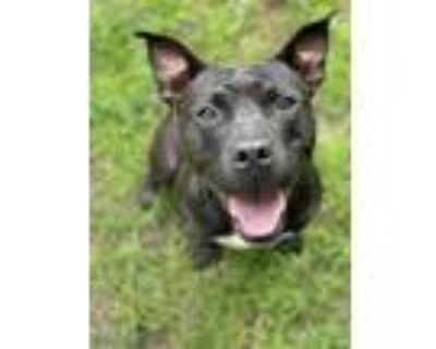 Adopt Caden a Black Pit Bull Terrier / Mixed dog in Peace Dale, RI (31935507)