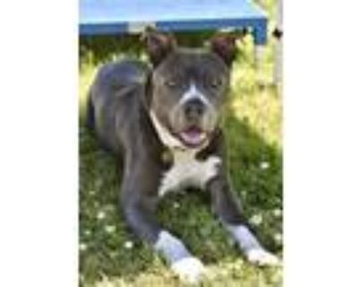 Adopt Mudder a Pit Bull Terrier, Mixed Breed