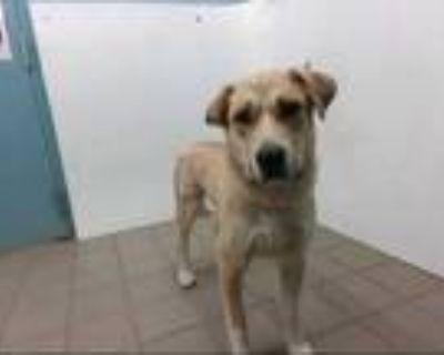 Adopt JUNIOR a Tan/Yellow/Fawn Labrador Retriever / Mixed dog in Albuquerque