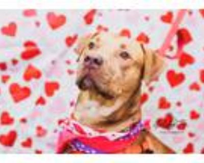 Adopt Benny a Labrador Retriever / American Staffordshire Terrier / Mixed dog in