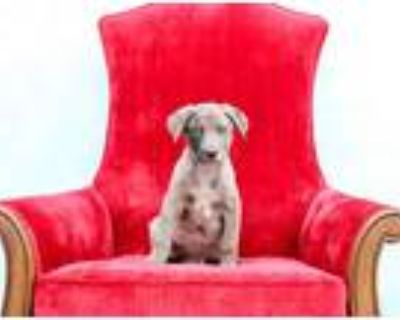 Adopt Hot Link a Merle Catahoula Leopard Dog / Border Collie / Mixed dog in