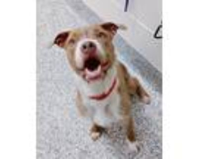 Adopt Bonnie a Jack Russell Terrier / American Pit Bull Terrier / Mixed dog in