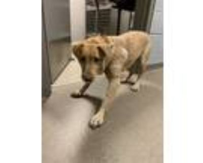 Adopt Kelly* a Tan/Yellow/Fawn Retriever (Unknown Type) / Mixed dog in Anderson
