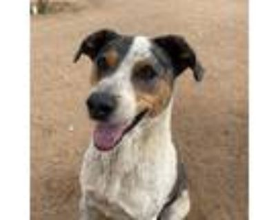 Adopt Bronson a Gray/Silver/Salt & Pepper - with Black Catahoula Leopard Dog /