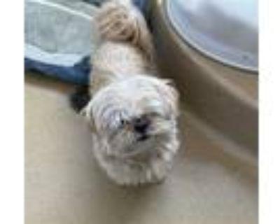 Adopt CARMELO a Tan/Yellow/Fawn Shih Tzu / Mixed dog in Derwood, MD (32041763)
