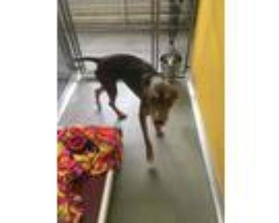 Adopt NELA a Doberman Pinscher, Mixed Breed