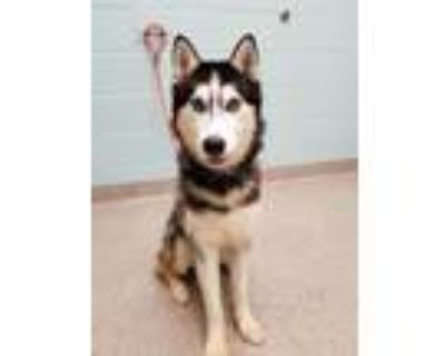 Adopt Orion a Siberian Husky, Mixed Breed