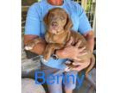 Adopt Benny a Labrador Retriever
