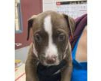 Adopt Cirrus a American Pit Bull Terrier / Mixed dog in Golden, CO (32121982)