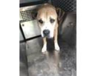Adopt 47887350 a Tan/Yellow/Fawn Bullmastiff / Mixed dog in Fort Worth