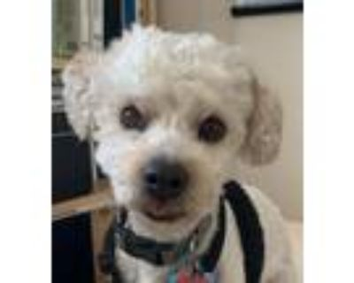 Adopt Ted a Toy Poodle / Mixed dog in Walnut Creek, CA (31615367)