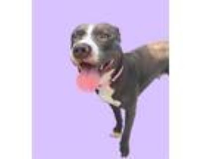 Adopt HARLOW a Gray/Silver/Salt & Pepper - with White American Pit Bull Terrier
