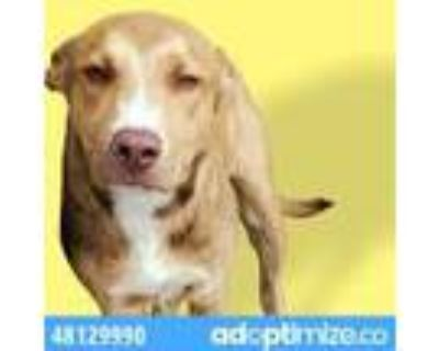 Adopt 48129990 a Brown/Chocolate Labrador Retriever / Mixed dog in El Paso