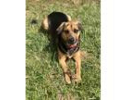 Adopt Charlie a Black - with Tan, Yellow or Fawn Boxer / Basset Hound / Mixed