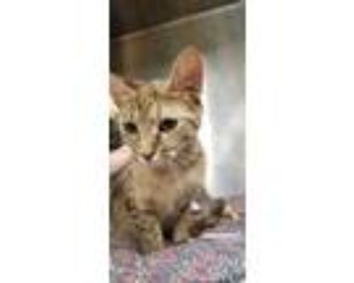 Adopt ROSE a Brown Tabby Domestic Shorthair / Mixed (short coat) cat in