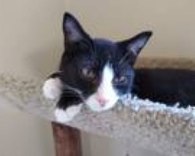 Adopt Rob a Black & White or Tuxedo Domestic Shorthair (short coat) cat in