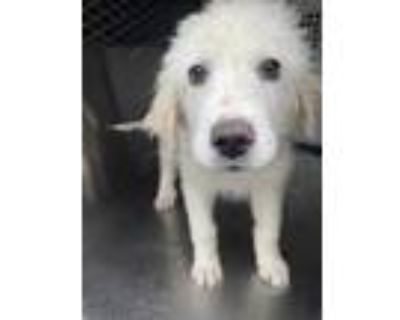 Adopt 47935753 a White Great Pyrenees / Mixed dog in Fort Worth, TX (31514484)
