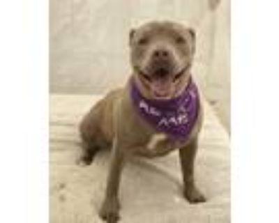 Adopt Nala a Tan/Yellow/Fawn American Staffordshire Terrier / Mixed dog in