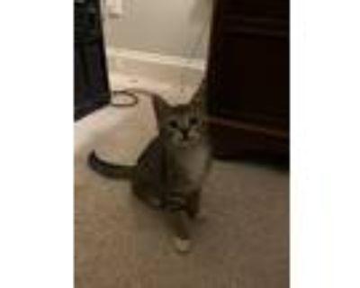 Adopt Kino a Gray, Blue or Silver Tabby American Shorthair / Mixed (medium coat)