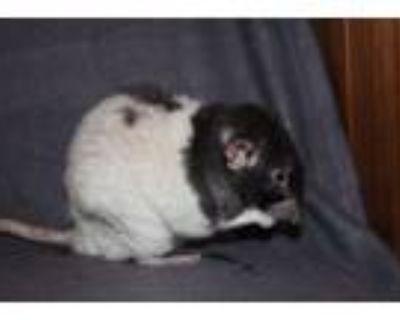 Adopt Fred & George a Rat