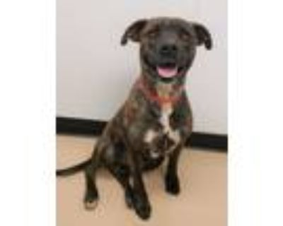 Adopt Charlie a Pit Bull Terrier, Boxer