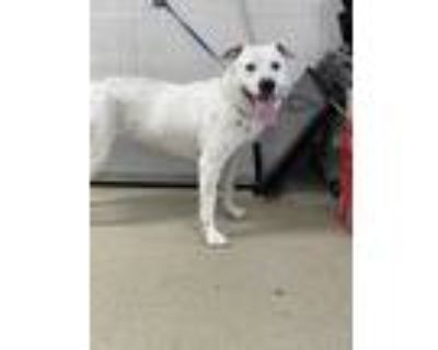 Adopt 47929794 a White American Pit Bull Terrier / Dalmatian / Mixed dog in Fort