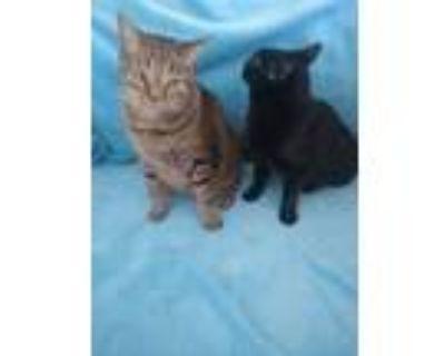 Adopt Geronimo a Brown Tabby Domestic Mediumhair / Mixed (medium coat) cat in
