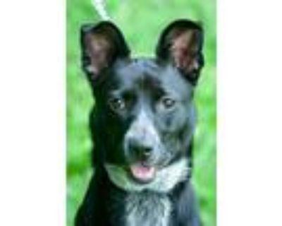 Adopt Ariel a Jack Russell Terrier, Australian Cattle Dog / Blue Heeler