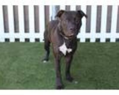 Adopt MAUI a Brown/Chocolate - with White American Pit Bull Terrier / Mixed dog