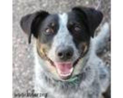 Adopt Poppy a Australian Cattle Dog / Blue Heeler