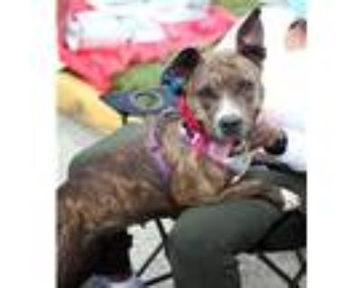 Adopt Delta R a Pit Bull Terrier