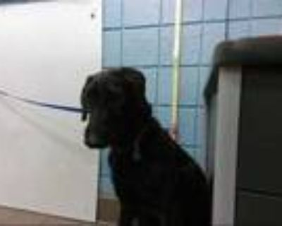 Adopt MEGAN a Brindle Airedale Terrier / Mixed dog in Albuquerque, NM (31518434)