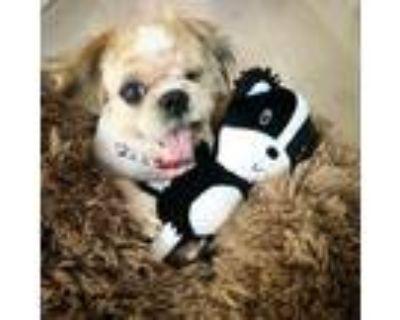Adopt Olaf a Shih Tzu