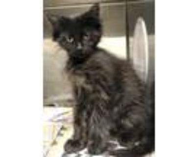 Adopt 47896729 a All Black Domestic Shorthair / Domestic Shorthair / Mixed