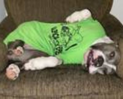 Adopt Ava a American Staffordshire Terrier
