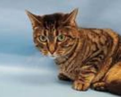 Adopt Pickles a Brown or Chocolate Domestic Shorthair / Mixed cat in Coon
