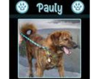 Adopt Pauly 061921 a Brindle - with White Labrador Retriever / Hound (Unknown