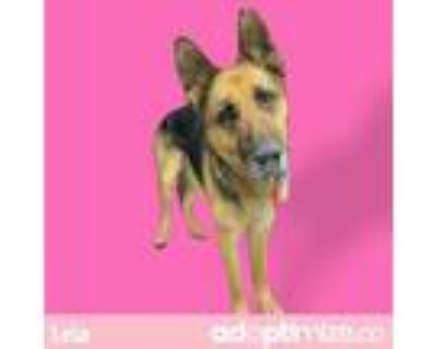 Adopt LEIA a Black - with Brown, Red, Golden, Orange or Chestnut German Shepherd