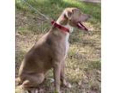 Adopt Bentley a Mixed Breed, Labrador Retriever