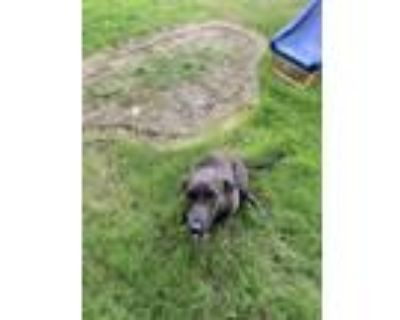 Adopt Lady a Brown/Chocolate - with Black Labrador Retriever / Whippet / Mixed