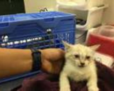 Adopt Cat a White Domestic Shorthair / Mixed (short coat) cat in Thousand Palms