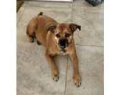 Adopt Lizzie a Pug, Beagle