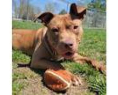Adopt Indie a Pit Bull Terrier, Mixed Breed
