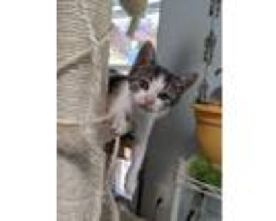 Adopt Moo Moo (Bessie) a Domestic Shorthair / Mixed cat in Los Lunas